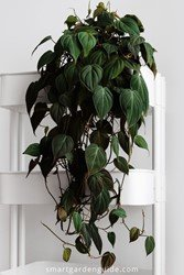 A Heartleaf Philodendron hanging in a pot