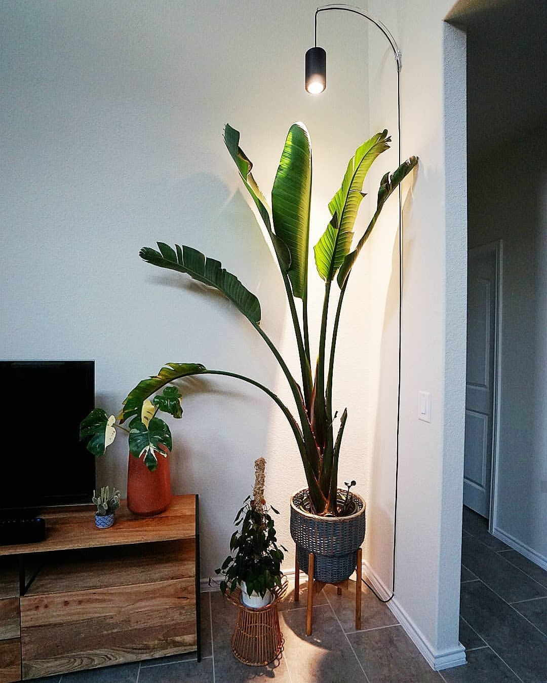 Large Black Aspect™ Grow Light over Bird of Paradise with Archetto Wall Mount