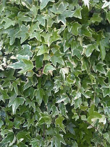 All About Ivy