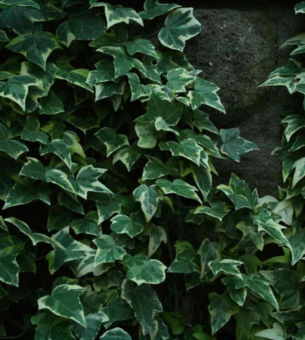 Photograph of Goldchild Ivy a sub variety of English Ivy