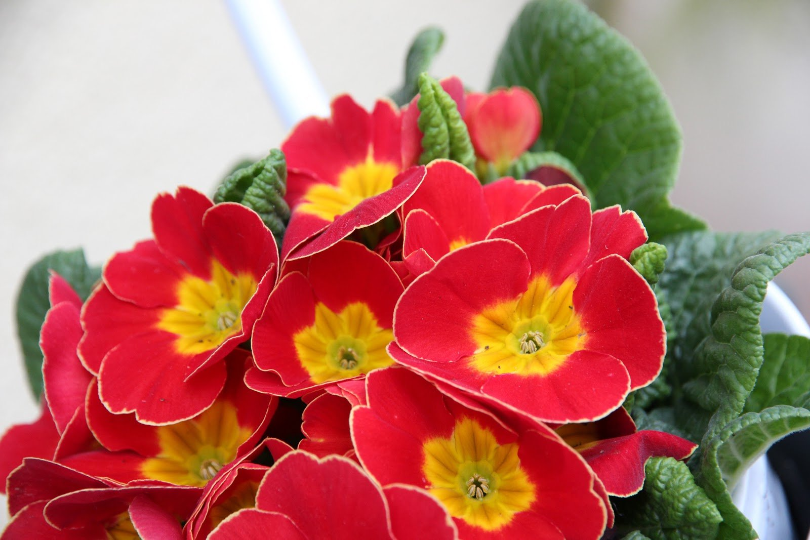 Red and yellow are just a few of the many colors that primroses come from