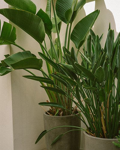 Bird Of Paradise Plant Grow Guide