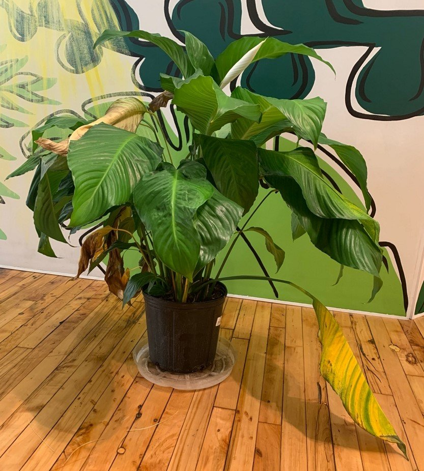 Why indoor plant leaves turn yellow