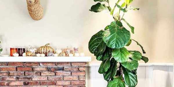 Large White Aspect growing Fiddle Leaf Fig