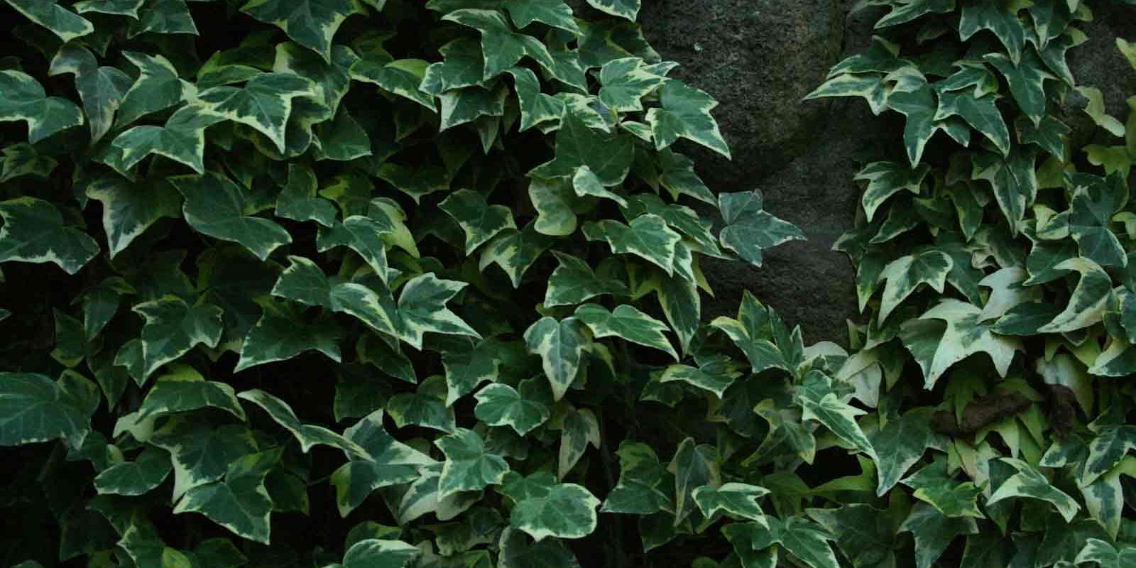 Photograph-of-Goldchild-Ivy,-a-sub-variety-of-English-Ivy