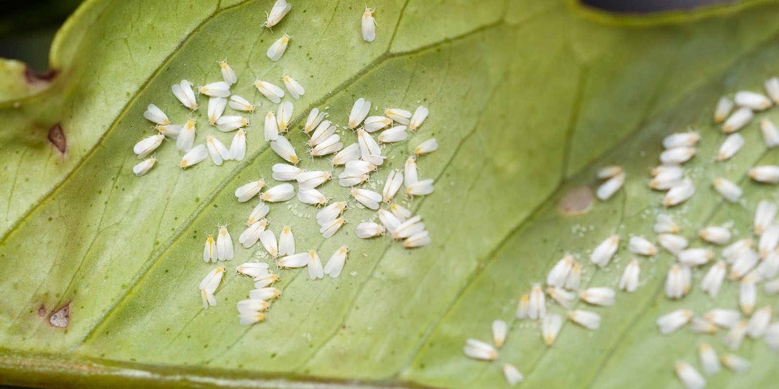 Whiteflies_cover_web_2048x